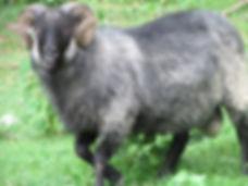 Horned Icelandic Ram - Ulf