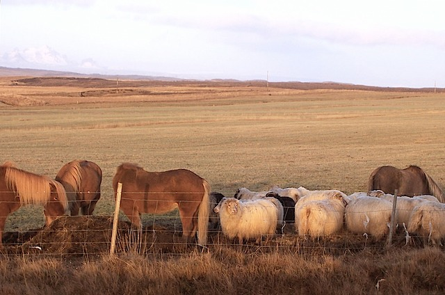 Icelandic Sheep & Ponies