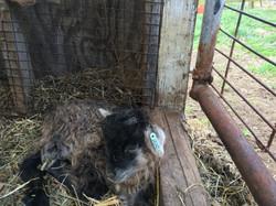 Icelandic Ram Lamb