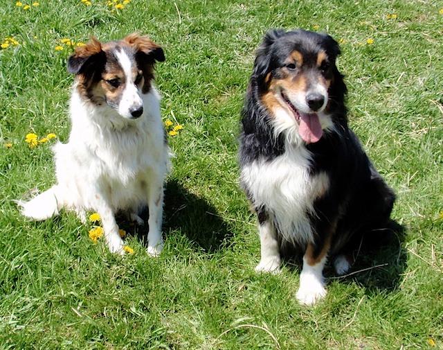 Tamarack Farm Herding Dogs