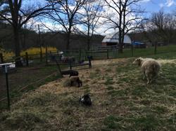 Icelandic Sheep at Tamarack Farm