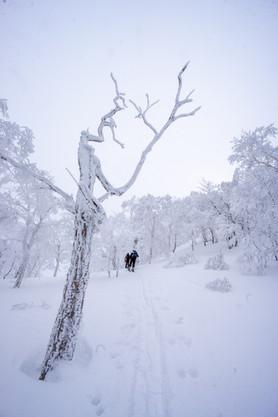 The iconic Hokkaido trees