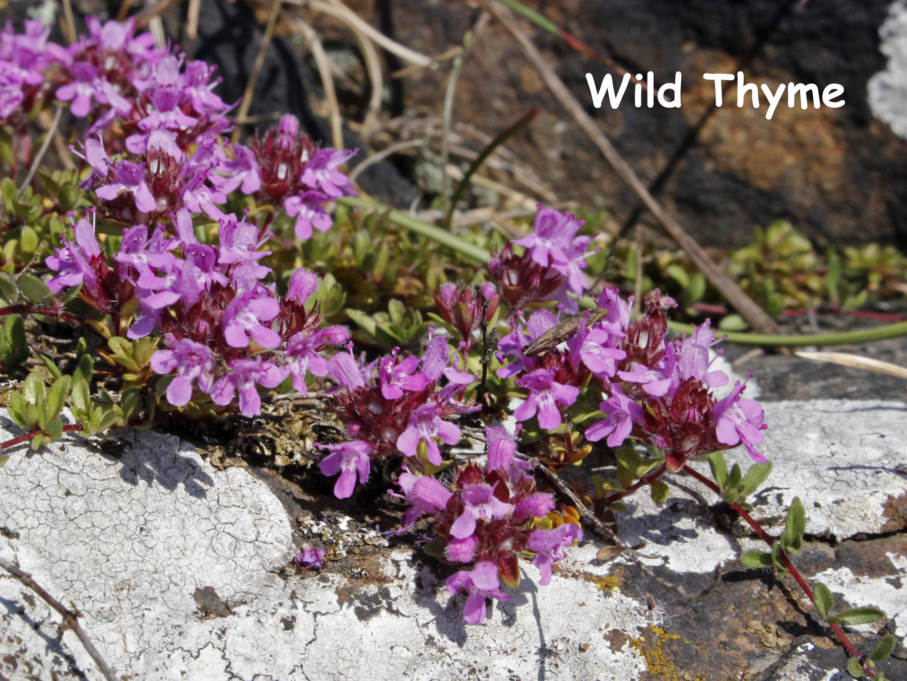 Wild Thyme DP 26Jun14 text