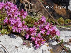 Wild Thyme DP 26Jun14 text