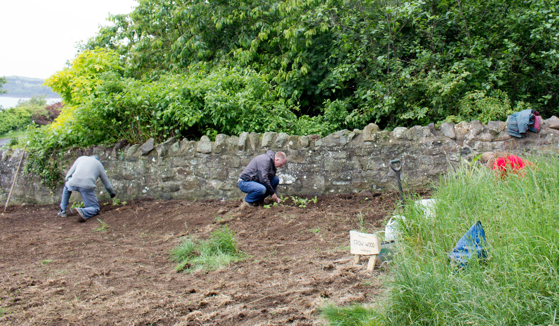 Planting Foxglove Seedlings