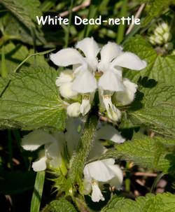 White-Dead-nettle