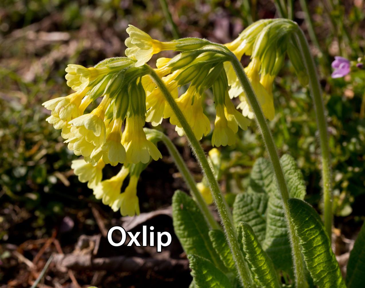 Oxlips-1-txt