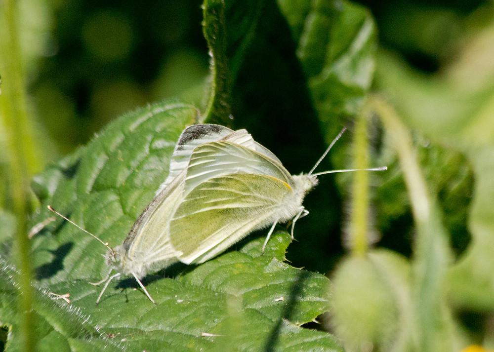 Small-White-mating-WF-Trian.jpg
