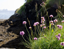 Sea-Thrift-Downing-Point