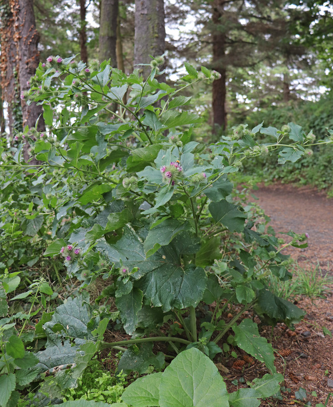 Burdock, a plant with a past