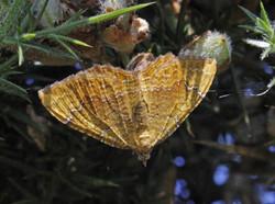 Yellow-Shell-Moth-26Jun14