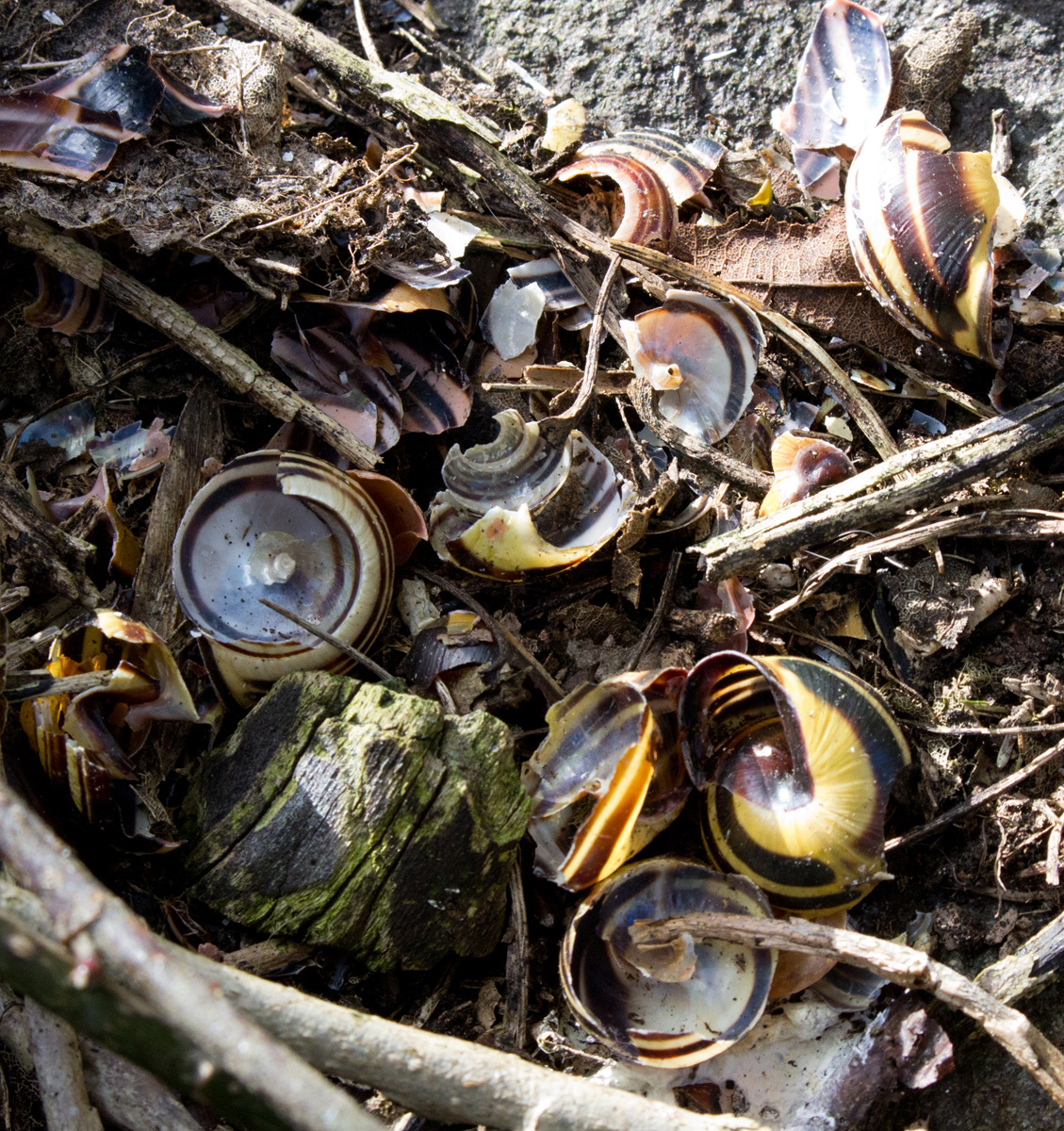 The broken snail shells