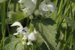 White Dead-nettle BHW