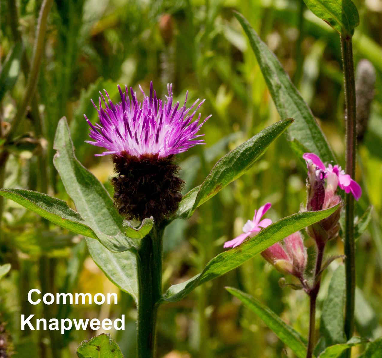 Common-Knapweed-text