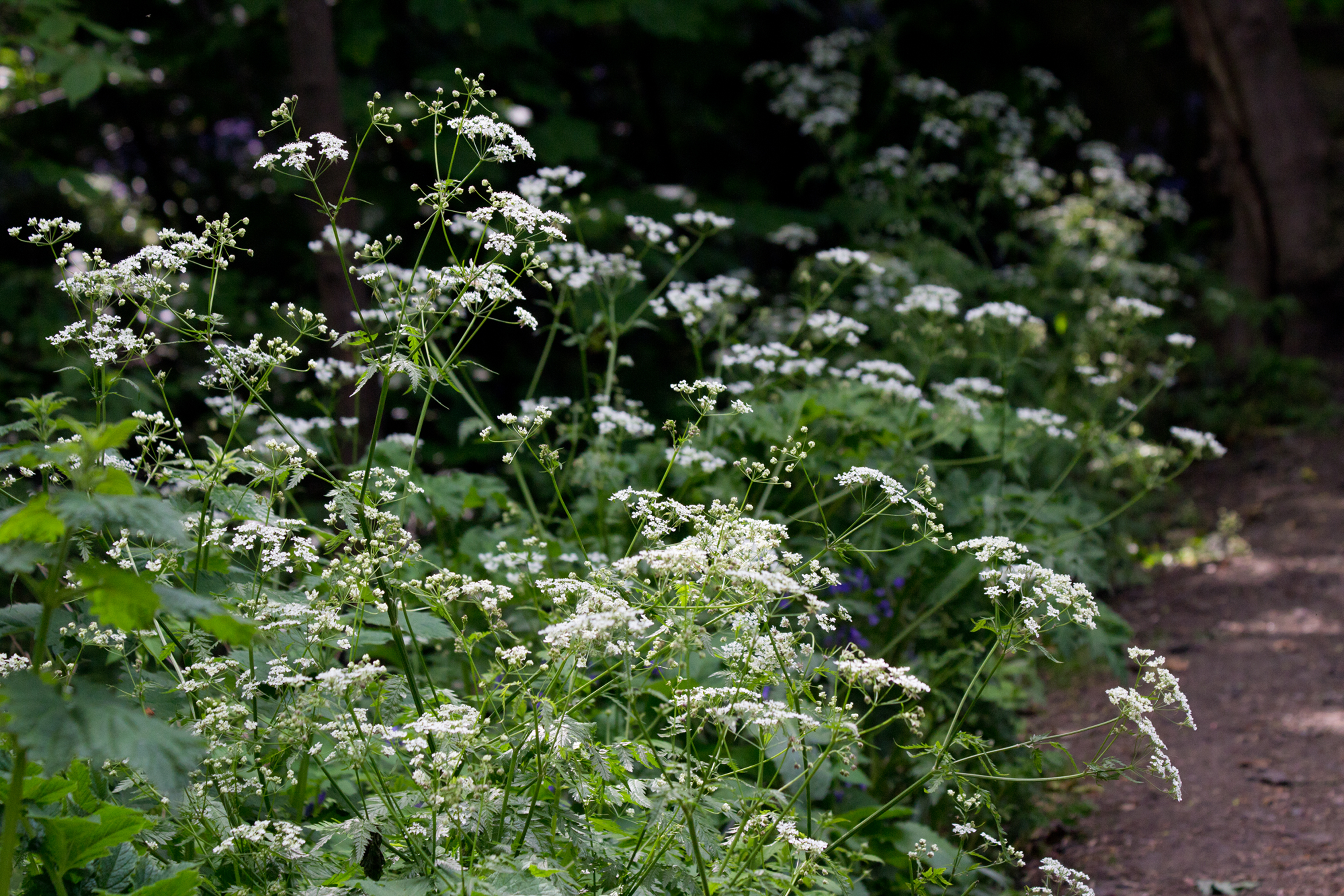 Cow Parsley Hopeward Wood
