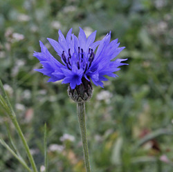1st Flowering: Cornflower 12 July