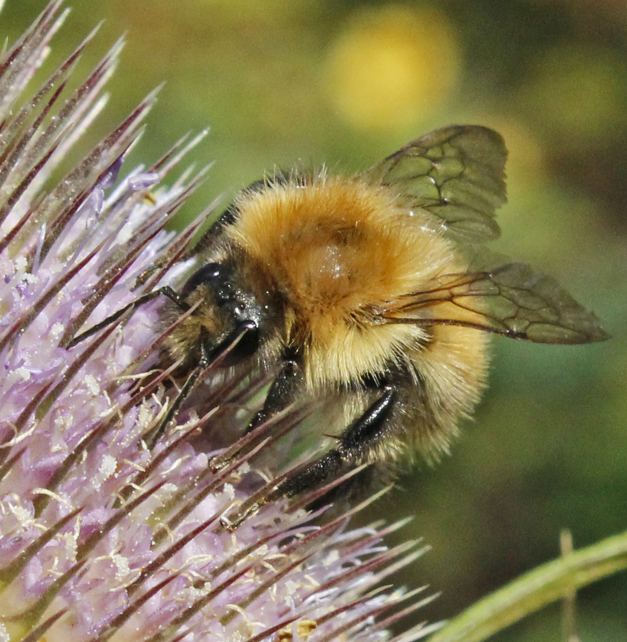 Common Carder on Teasle