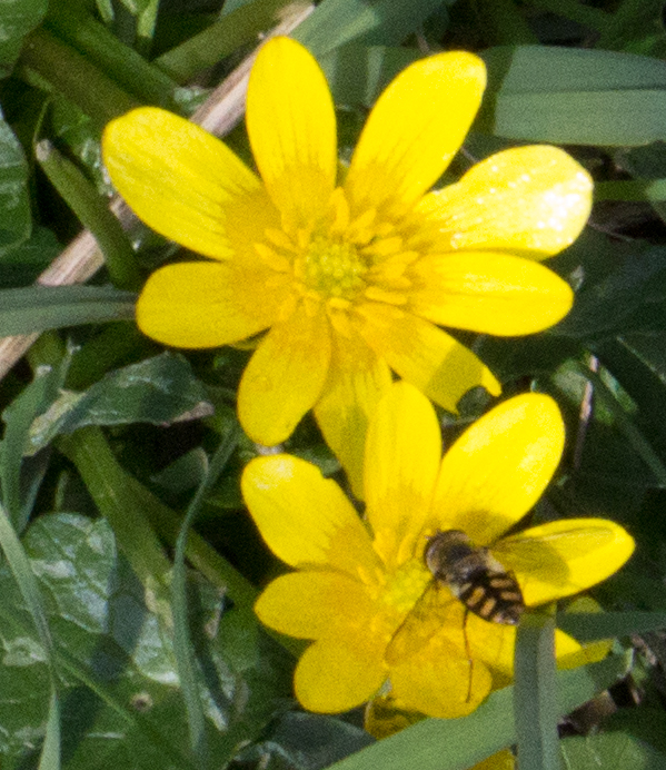 Hoverfly on Celandine Crow Wood