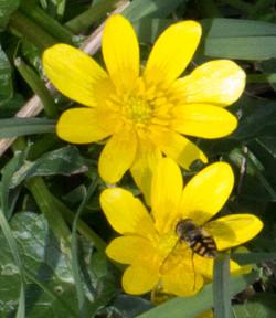 Hoverfly on Celandine Crow Wood