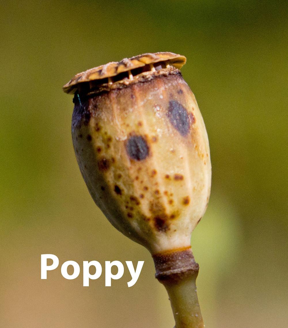Poppy-Seed-head.jpg