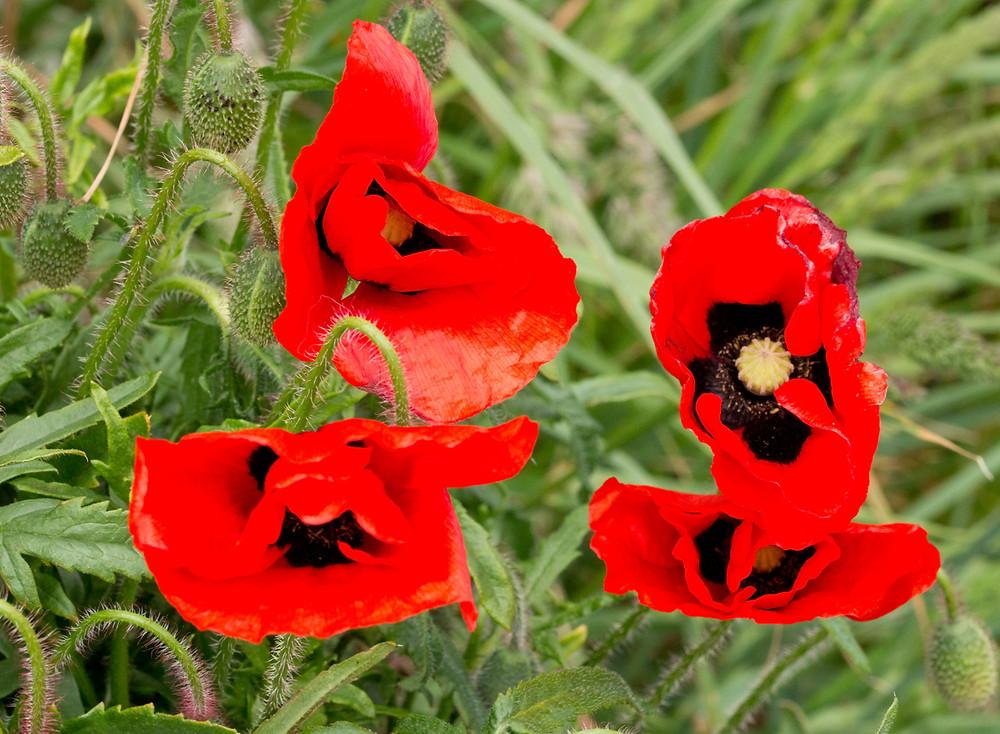4-Poppies.jpg