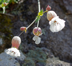 Sea-Campion-Downing-Point