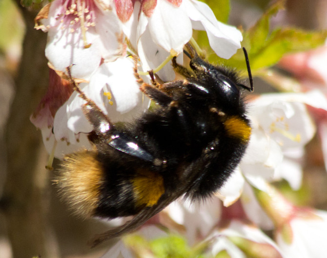 Bumblebees of Dalgety Bay