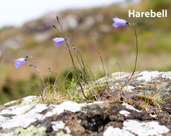 Harebell-DP