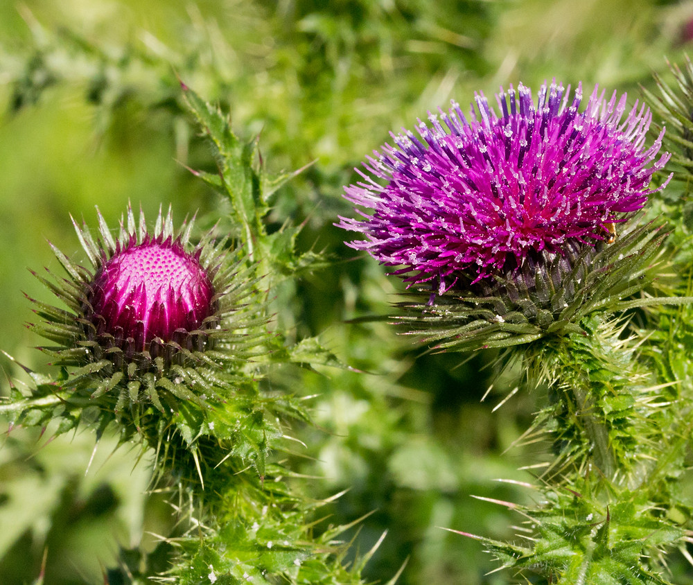 Welted Thistle Flowers