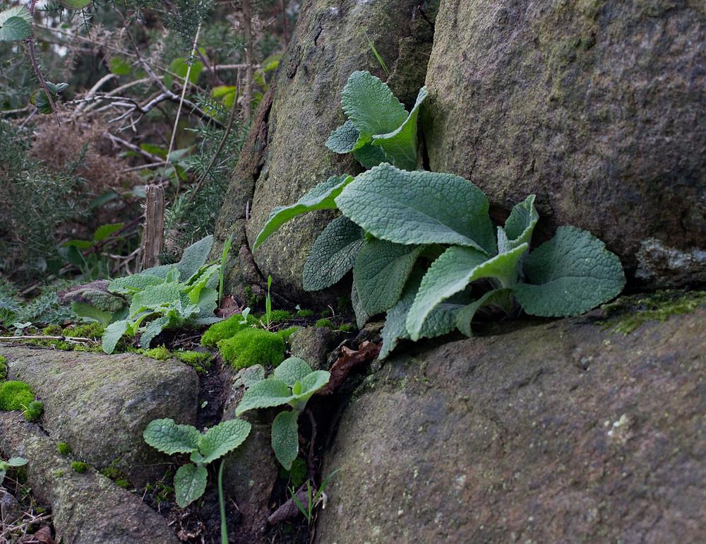 Foxglove-seedlings-DP.jpg