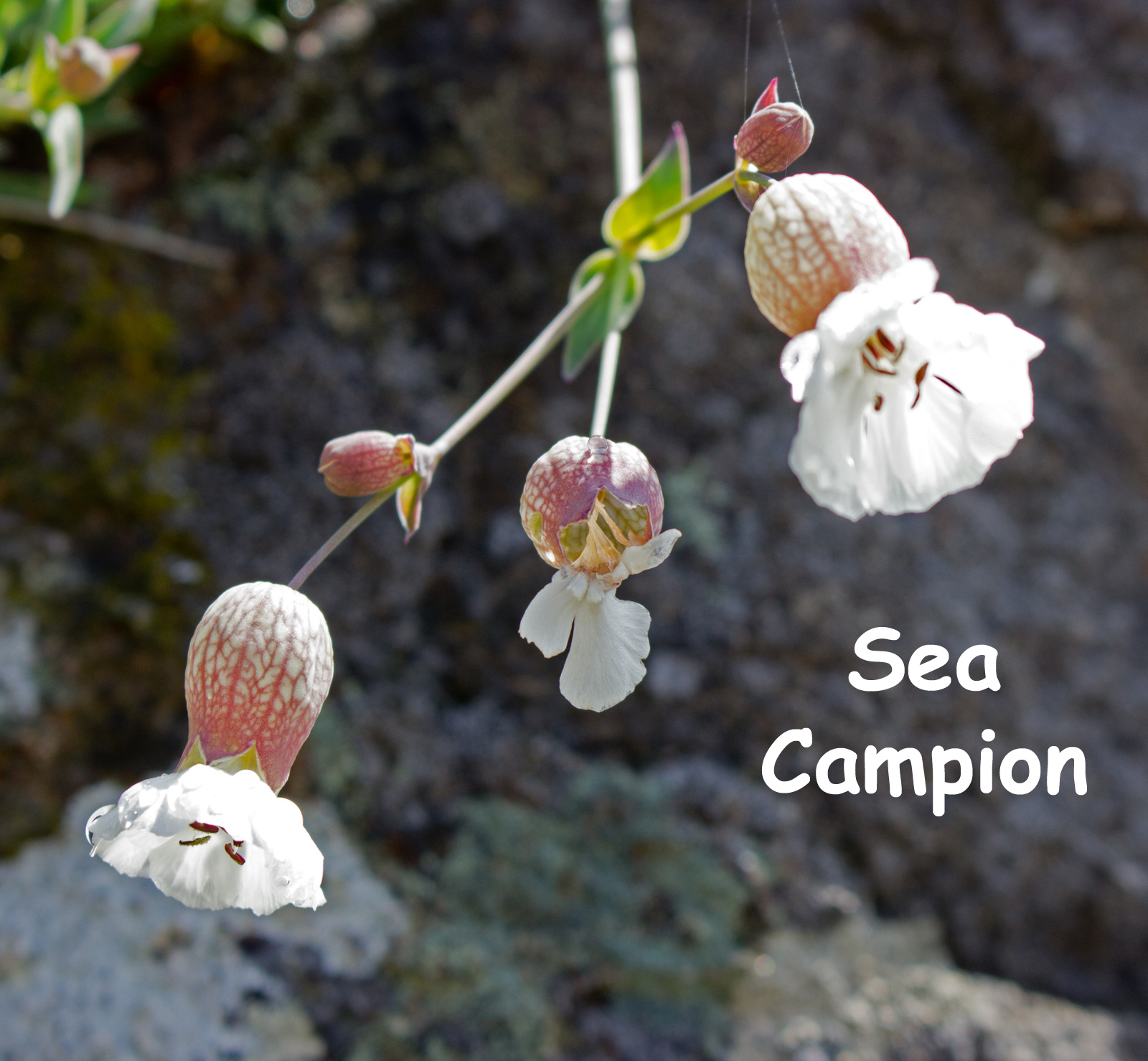 Sea Campion Downing Point text