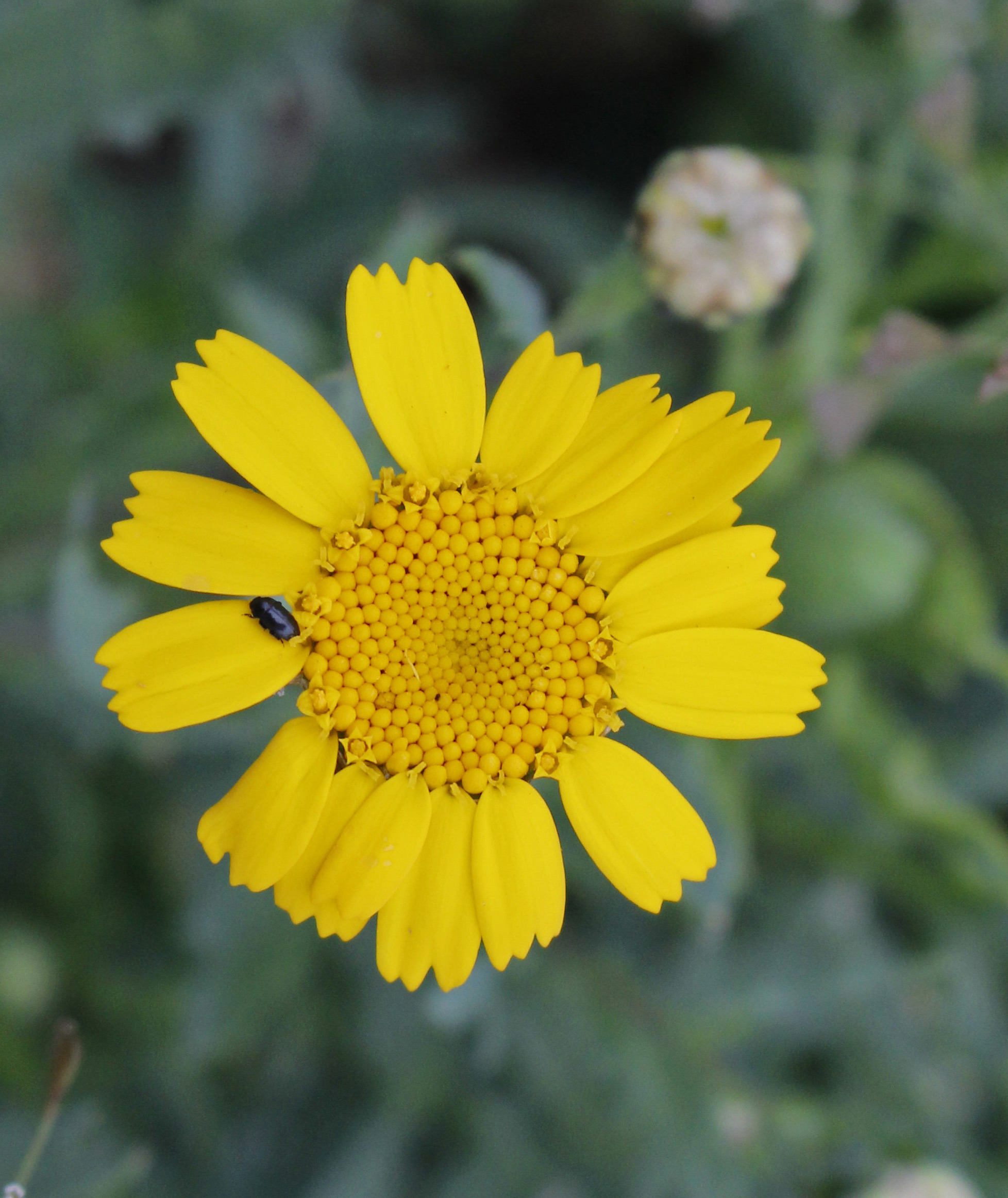 1st Flowering: Corn Marigold 12 July