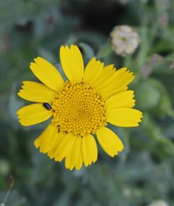 1st Flowering: Corn Marigold 12 July