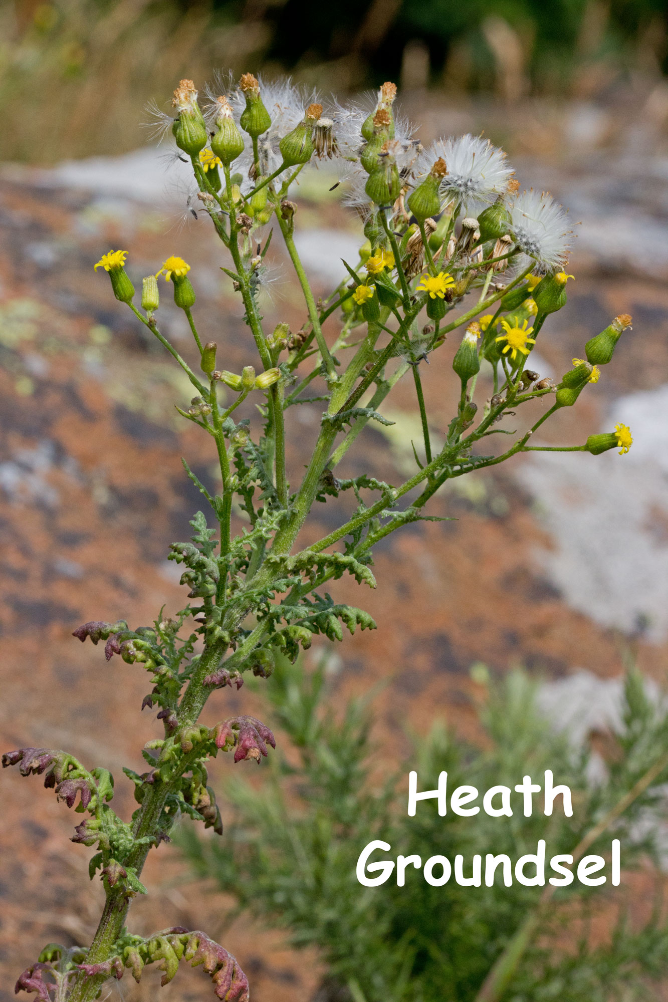 Heath-Groundsel
