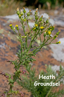 Heath-Groundsel