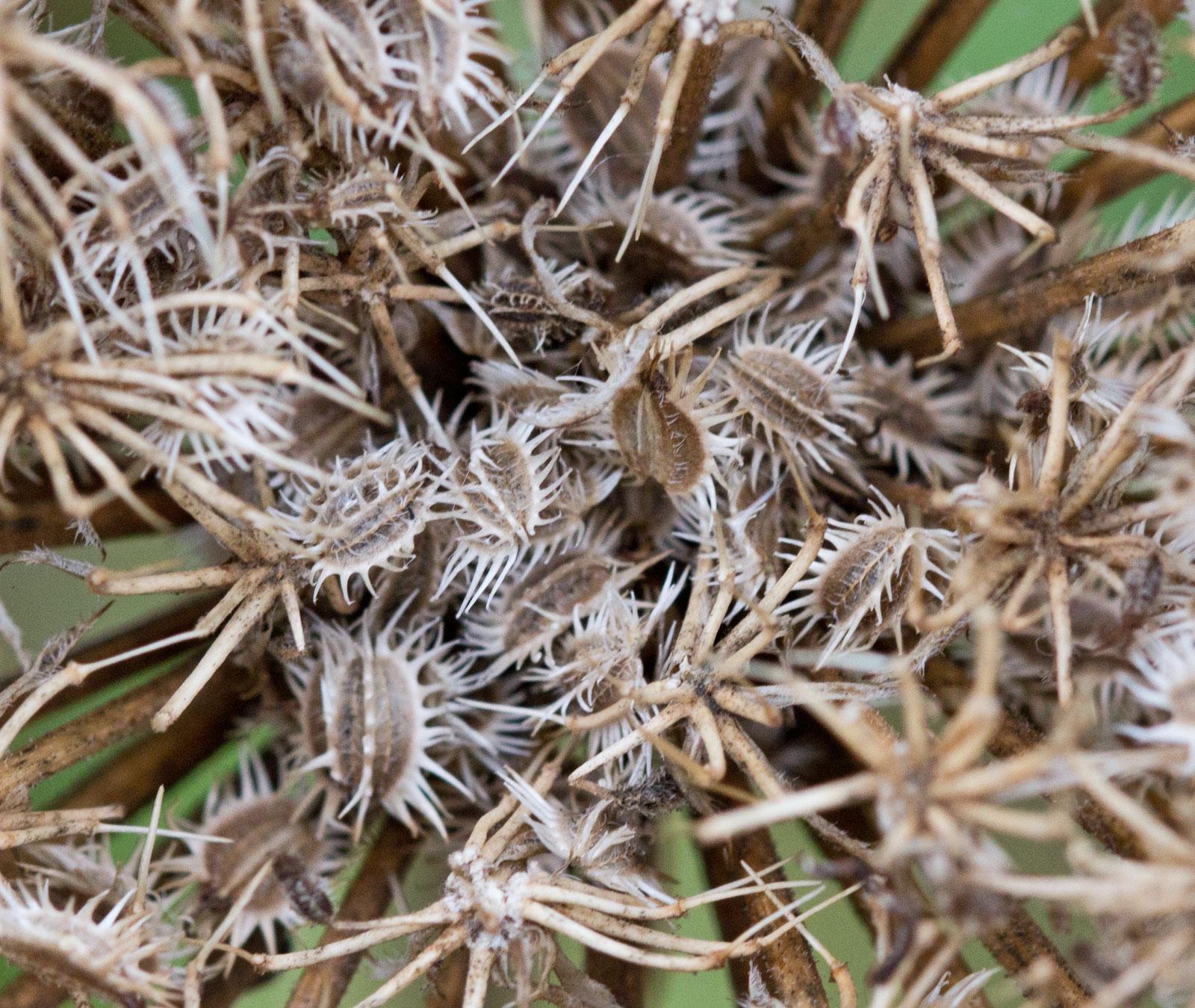 Wild-Carrot-seeds