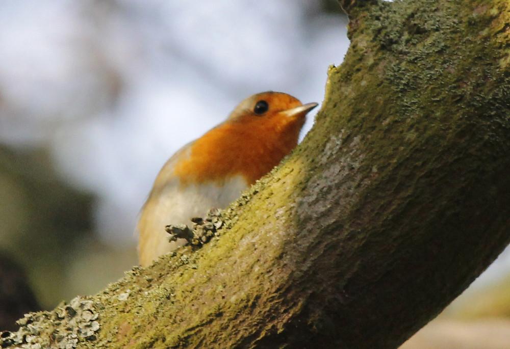 Robin-BHW.jpg