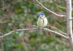 Blue-tit Crow Wood