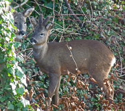 Roe stag in velvet and hind