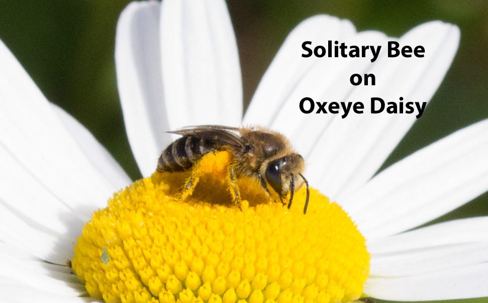 Solitary bee Prob Davies' Colletes 2 txt