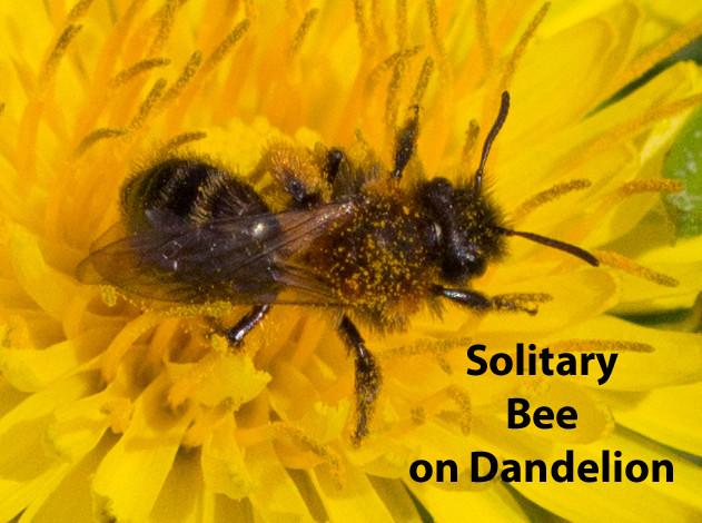 Solitary bee Dandelion 1b txt.jpg