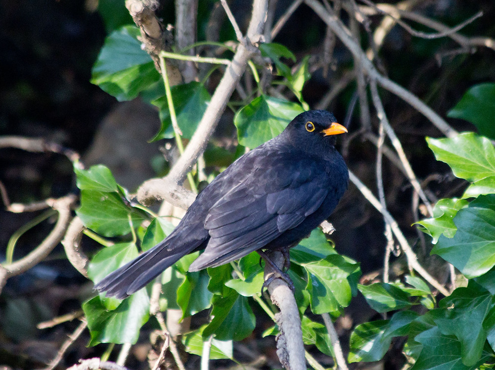 Blackbird-Male.jpg