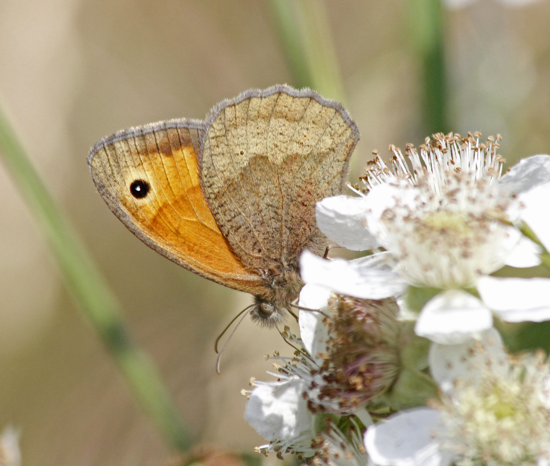 Meadow Brown DP 26Jun14