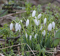 Snowdrops-BHW-text
