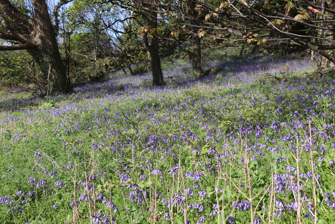Native and Hybrid Bluebells