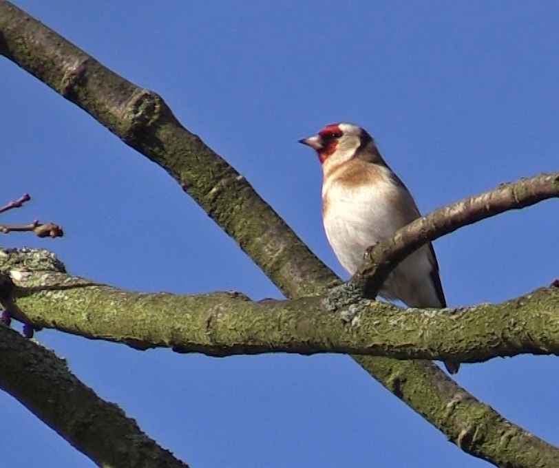 Goldfinch Hopeward Wood
