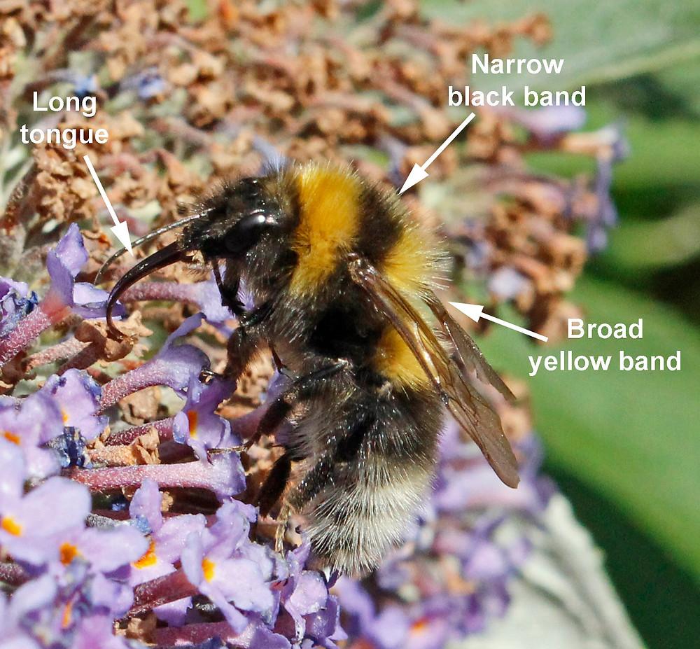 Garden Bumblebee Aug 2013.jpg