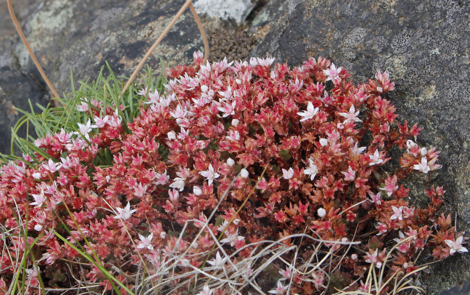 English-Stonecrop-Downing Point