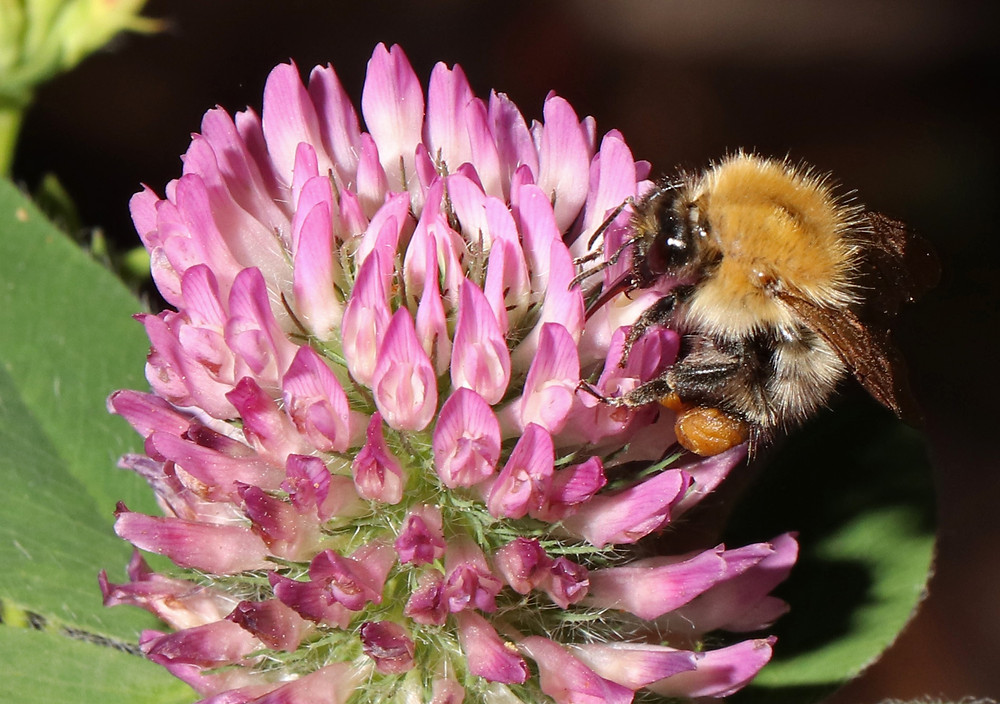 Common Carder on Red Clover