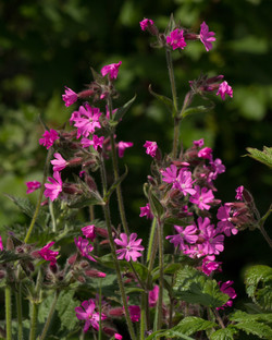 Red Campion Bathing House Wood